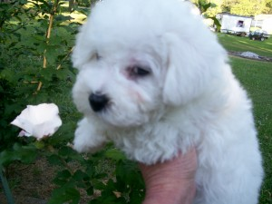 This is Bella,female Bichon Frise puppy